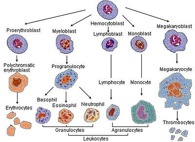 what are the three major types of leukocytes? quora