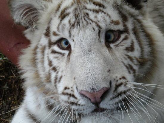 What Are Some Interesting Facts About Tigers