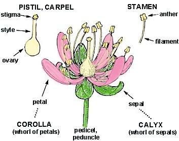 How do flowers reproduce? - Quora