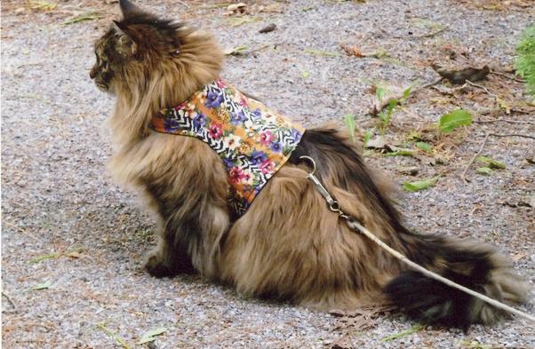 Seperti Apa Persilangan Antara Kucing Maine Coon Kucing Hutan Norwegia Dan Mengapa Menyebut Persilangan Quora