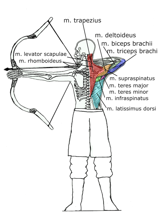 When you draw a bow, what muscles are used? - Quora