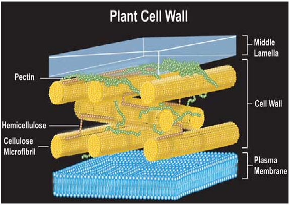 What is the chief material that cell walls are composed of quora plants polysaccharidespectin cellulose and hemicellulose ccuart Image collections
