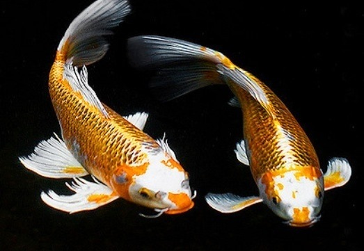 What does it mean if a koi or goldfish starts going black for Goldfisch und koi