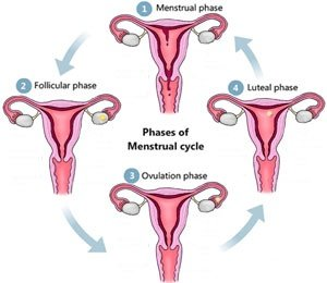 process of menstrual cycle pdf
