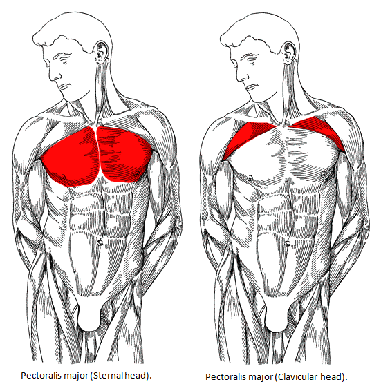 How to increase the size of your pecs, what is the best exercise - Quora