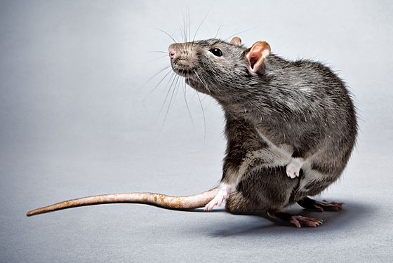 Why do rats die outside houses after eating rat poison? - Quora