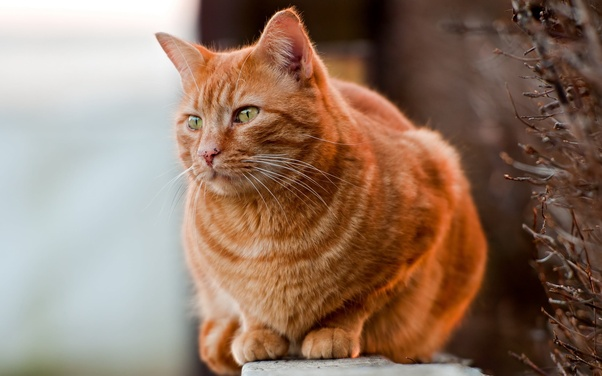How Much Is An Orange Tabby Cat Worth Quora