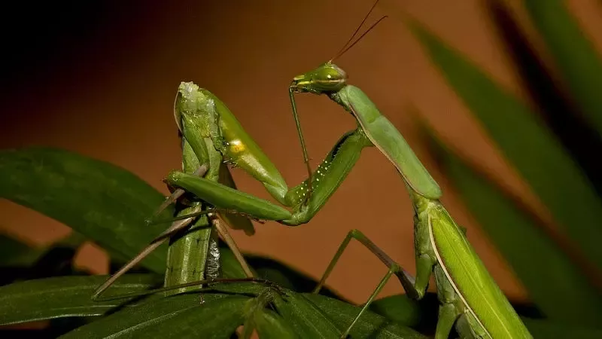 How Does The Female Praying Mantis Know That She Is Supposed To