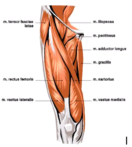 What is this muscle and how do you train it? - Quora