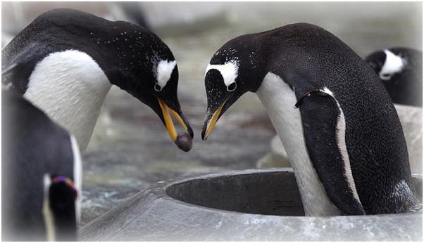 Пінгвіни пропонують один одному камінчики