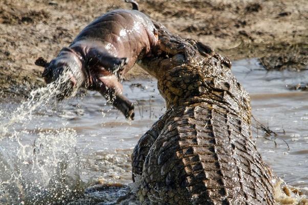 Could a crocodile kill a hippopotamus? - Quora