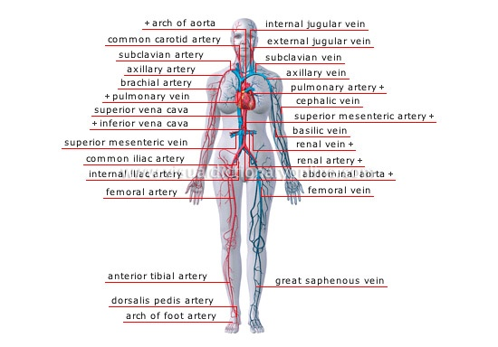How many veins are in the human body? - Quora