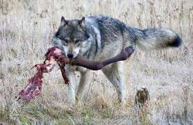 Are Wolves Carnivores Or Omnivores Like Dogs Quora