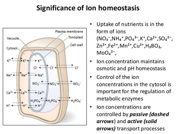 in cell homeostasis what is the structure responsible for rh quora com