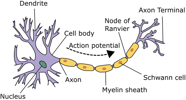 How do neurons attach to one another? - Quora