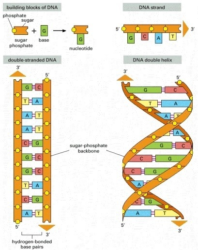 how many atoms in dna