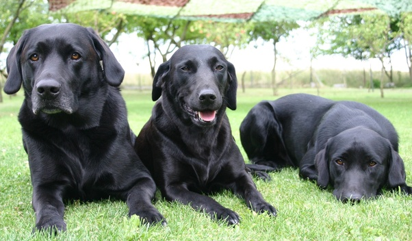 How Long Does A Labrador Retriever Live On Average And What Are The
