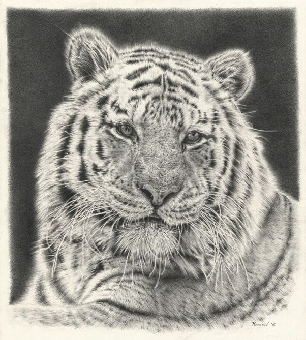 Drawings of tigers in pencil dating