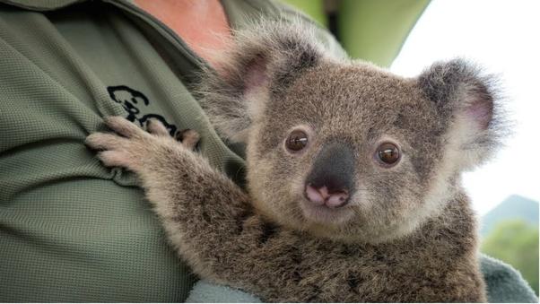 Do koala bears bite quora - Pictures of koalas and baby koalas ...