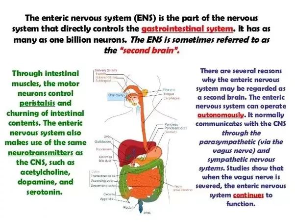 Do organs have nerves? - Quora