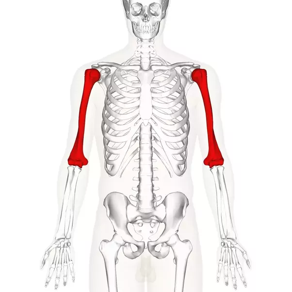 What Is The Function Of The Humerus Bone In The Human Arm Quora