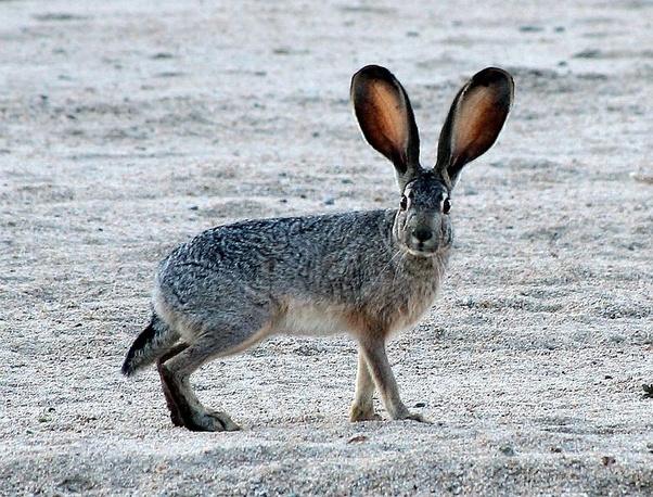 perbedaan Terwelu atau tegalan dengan kelinci Terwelu atau tegalan memiliki daun telinga yang panjang