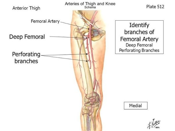 How deep is the femoral artery in the thigh? - Quora