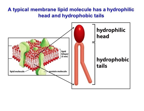 What Is Hydrophilic In Biology And What Are Some Examples Quora