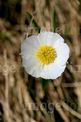 What is this white flower with multiple yellow fluffy stamens quora single bloom white ranunculus on stock photos single bloom white ranunculus on stock images mightylinksfo