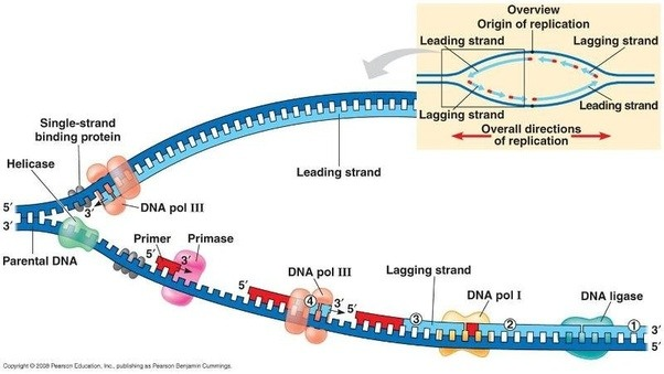 to allow dna polymerase to bind to the ssdna for replication because dna polymerase can not bind ssdna and needs a primer of dsdna in order to bind