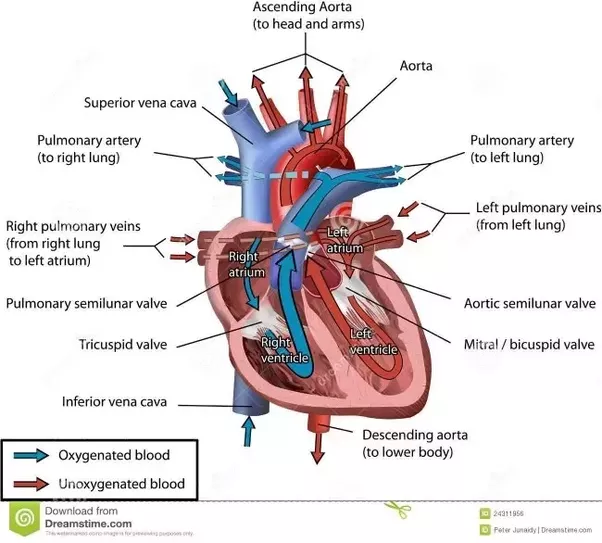 Why Does A Ventricle Have A Thicker Wall Than An Atrial Quora