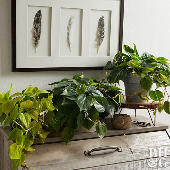 Probably The Most Por Houseplant In World Philodendron Is Super Tolerant Of Dark Interiors This Fast Growing Vine Works Well Hanging Baskets Or