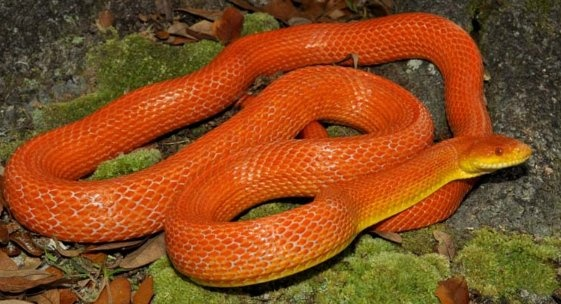 What does it mean to see a orange snake in your dream