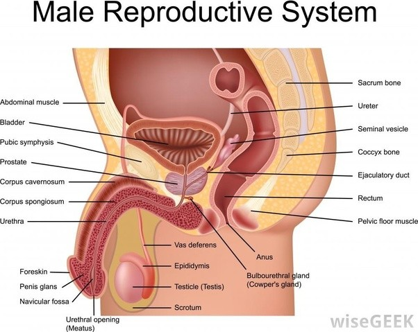 Which structure in the female anatomy is cut for birth control ...