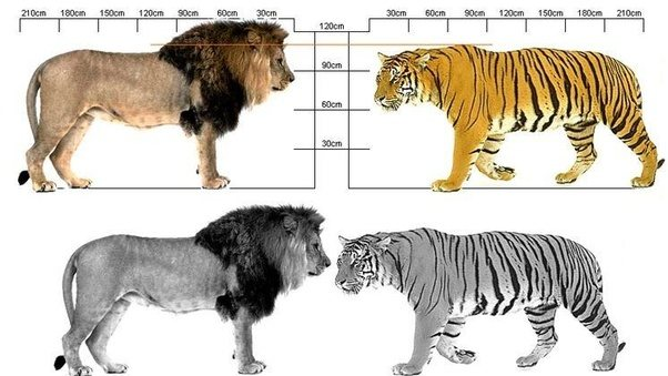 Lion size compared too many fish dating site