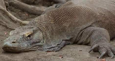 have there been instances of komodo dragon eating a human quora