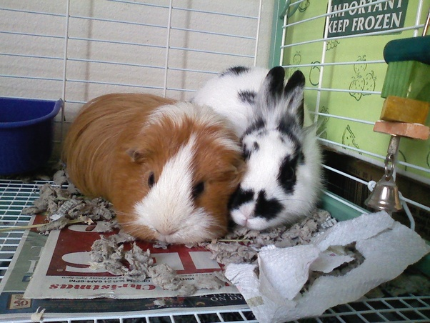 Can you only get one guinea pig? - Quora