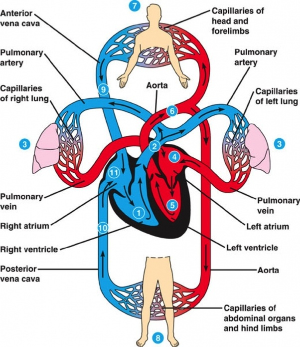 What Is The Function Of The Circulatory System Quora