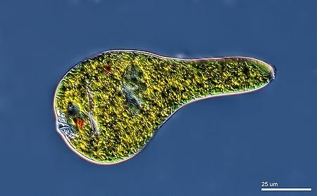 PARAMECIUM, ANOTHER SINGLE-CELLED ANIMAL (Photo: Wikipedia)