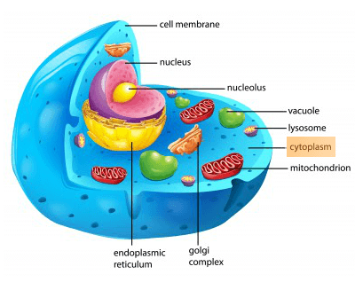 What is the function of cytoplasm in a plant cell how important is in plants the movements of the cytoplasm around the vacuoles this is known as cytoplasmic streaming ccuart Image collections