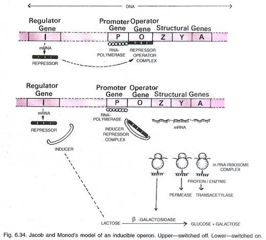 define repressible operon