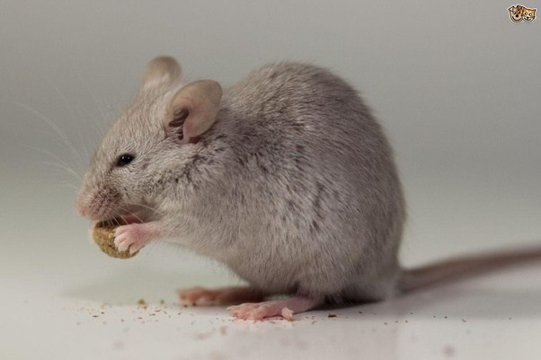 What Do Mice Eat Besides Cheese Quora