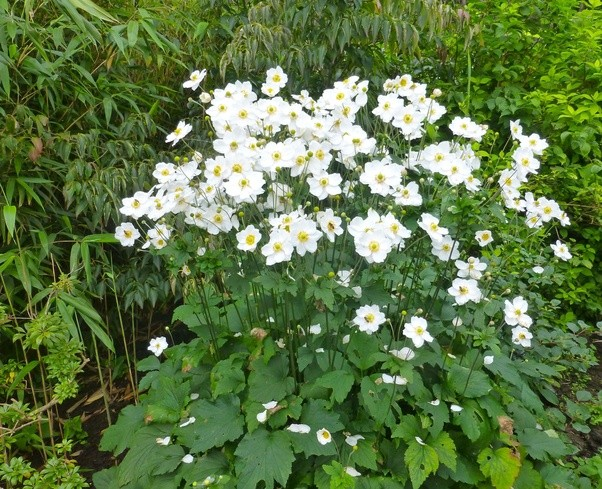 What is the name of this white flower that blooms in late summer i think it might be a japanese anemone anemone hupehensis mightylinksfo