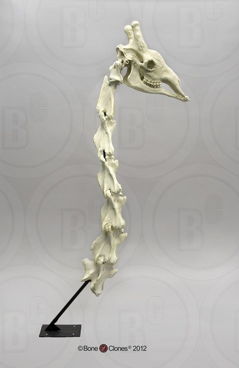 How Many Bones Are There In A Giraffes Neck Quora