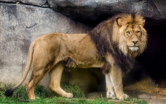 Are male African lions more muscular and have robust built ...