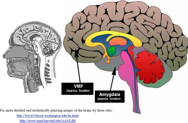 What is the difference between the Ventromedial Prefrontal Cortex ...