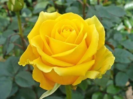 Which flower is a symbol of friendship quora when giving flowers regardless of the type of flowers given the most popular option for a flower to friendship is yellow rose mightylinksfo