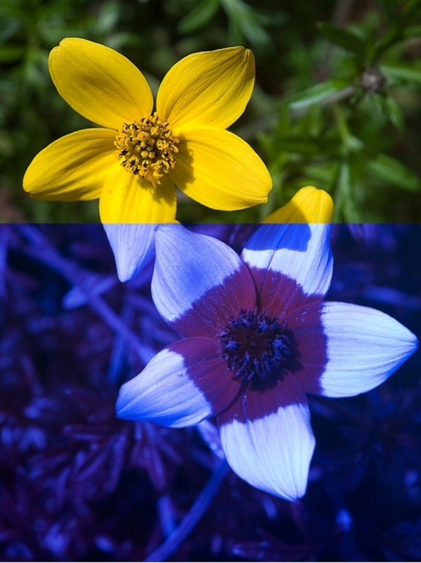 I have noticed that wild flowers are mostly yellow in colour and when the flower is white or even purple or yellow it often has additional patterns visible to insects in the ultraviolet range mightylinksfo