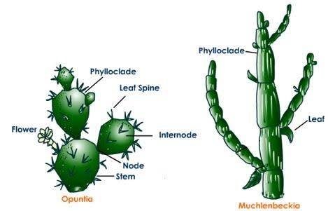 What is the difference between phyllode, cladode and ...