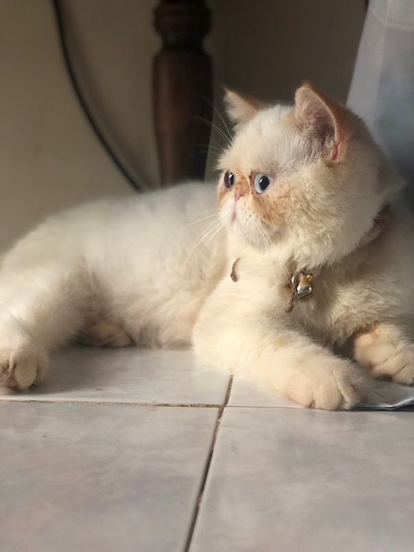 What's the personality of an exotic shorthair cat like ...